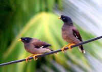 Jungle Myna Pair