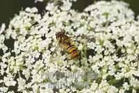 hoverfly Epistrophe balteata on flower of Wild carrot Daucus carota Germany stock photo