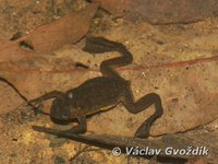 : Xenopus longipes; Clawed Frog