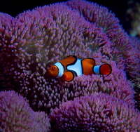 : Amphiprion percula; Clown Anemonefish
