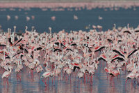 : Phoenicopterus minor; Lesser Flamingo