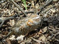 들꿩 Tetrastes bonasia vicinitas | hazel grouse