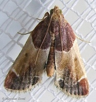 Pyralis farinalis - Meal Moth