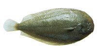 Peltorhamphus novaezeelandiae, New Zealand sole: fisheries, gamefish