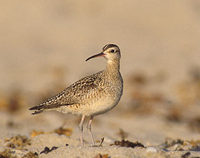 Little Curlew (Numenius minutus) photo