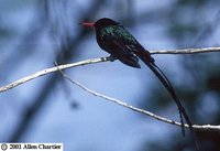Red-billed Streamertail - Trochilus polytmus