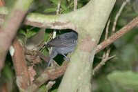 White-shouldered Antshrike - Thamnophilus aethiops