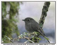 New Zealand Robin - Petroica australis