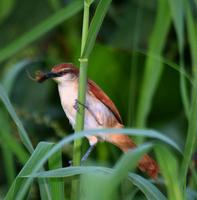 Yellow-chinned /Yellow-throated spinetail