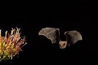 ...Lesser Long-nosed Bat ( Leptonycteris curasoae ) Endangered species Flying near agave plant ( Ag
