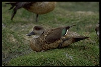 : Anas specularioides; Patagonia Crested Duck