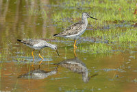 : Tringa melanoleuca; Greater Yellowlegs;