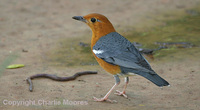 Orange-headed Thrush Zoothera citrina