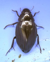 Hydrophilus piceus - Great Silver Water Beetle