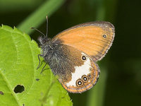 Coenonympha arcania - Pearly Heath