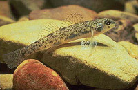 Etheostoma nigrum, Johnny darter: