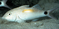 Parupeneus indicus, Indian goatfish: fisheries, gamefish