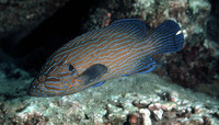 Cephalopholis formosa, Bluelined hind: fisheries