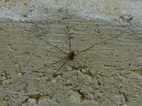 Image of: Opiliones (daddy longlegs and harvestmen)
