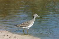 Image of: Tringa melanoleuca (greater yellowlegs)