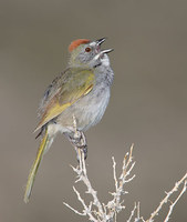 Green-tailed Towhee (Pipilo chlorurus) photo