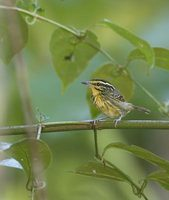 Yellow-browed Antbird (Hypocnemis hypoxantha) photo