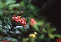 Little Spiderhunter - Arachnothera longirostra