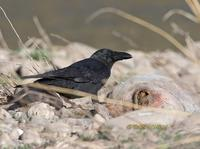 Large billed crow C20D 02157.jpg
