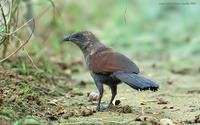 Brown-Coucal