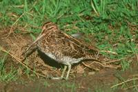 Common Snipe (Gallinago gallinago) Musselburgh, Scotland, October 2001