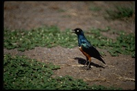 : Lamprotornis superbus; Superb Starling