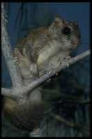 : Glaucomys sp.; New World Flying Squirrels