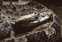 : Porthidium arcosae; Manabi Hognosed Viper