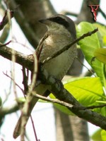Brown Shrike(Lanius cristatus)