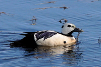 Steller's Eider. Photo by Rick Taylor. Copyright Borderland Tours. All rights reserved.