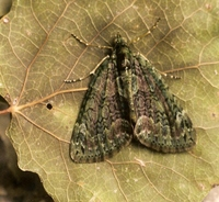 Chloroclysta miata - Autumn Green Carpet