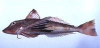 Chelidonichthys spinosus, Red gurnard: fisheries