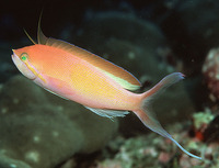 Nemanthias carberryi, Threadfin anthias: