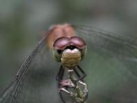Image of: Libellulidae (common skimmers)
