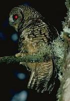 Image of: Strix occidentalis (spotted owl)