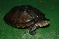 Kinosternon leucostomum - White-lipped Mud Turtle