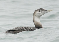 Yellow-billed Loon - Gavia adamsii