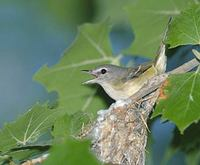 Bell's Vireo (Vireo bellii) photo