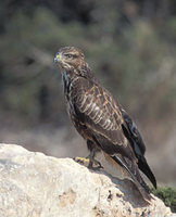 Common Buzzard (Buteo buteo) photo