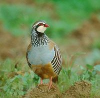 Red-legged Partridge (Alectoris rufa) photo