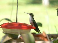 Gray-breasted Sabrewing - Campylopterus largipennis