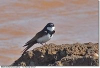Black-collared Swallow - Atticora melanoleuca