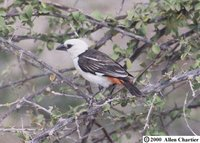 White-headed Buffalo-Weaver - Dinemellia dinemelli