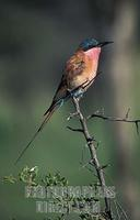 Carmine bee eater , Merops nubicoides , Hwange National Park , Zimbabwe stock photo