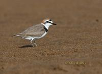 Kentish plover C20D 02374.jpg